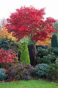 Ahorn Rote Blätter : autumn red foliage of acer palmatum 39 osakazuki 39 pflanzenfreude asia garten garten ideen und ~ Eleganceandgraceweddings.com Haus und Dekorationen