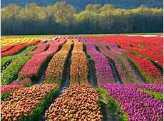 I tulipani di Cornaredo arrivano ad Arese tutti i colori