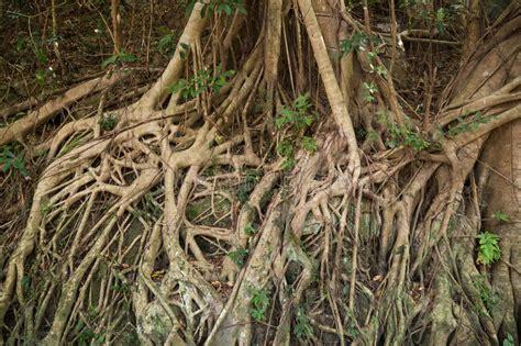 gummibaum im freien корни индийского резинового дерева elastica фикуса стоковое изображение изображение