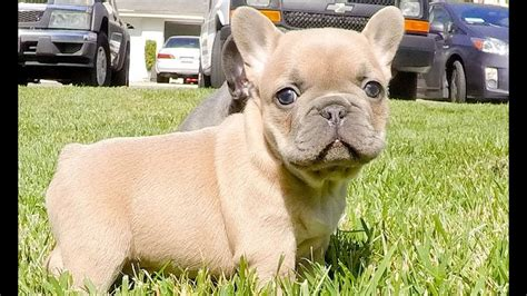 frenchie colors frenchie colors blue blue fawn and