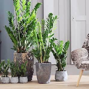 Zimmerpflanzen Für Schatten : die zamioculcas eine heldin unter den zimmerpflanzen ~ Michelbontemps.com Haus und Dekorationen
