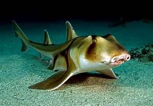 Heterodontiformes - Port Jackson Shark