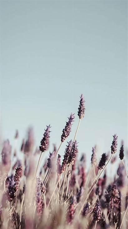 Iphone Xs Wallpapers Flower Lavender Elegant Pretty