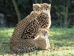 """King Cheetah and siblings 
