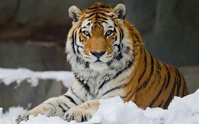Tiger Siberian Wallpapers Pinter Hq