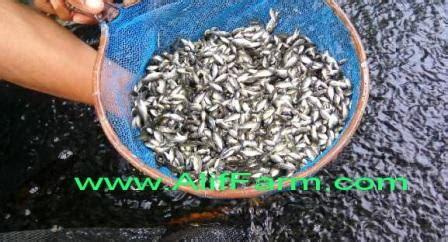 Bibit Ikan Nila Paling Bagus budidaya sukses dengan bibit ikan nila paling berkualitas