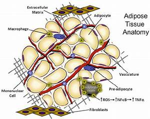 1 Adipose Tissue Holds Aggregates Of Adipocytes In An