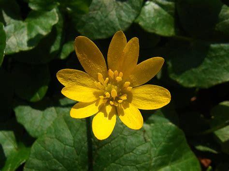 wildblumen lexikon mit bildern wildblumen im april das scharbockskraut langenhagen myheimat de