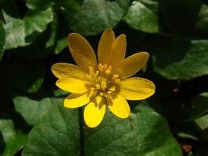 Aktuelle Blumen Im April : wildblumen im april das scharbockskraut langenhagen ~ Markanthonyermac.com Haus und Dekorationen