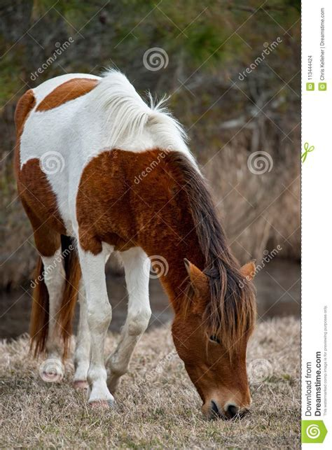wild maryland assateague horse animal