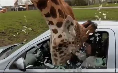 video giraffe breaks car window    food