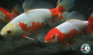 Goldfish UPDATE // Rare Jikin Goldfish – Solid Gold Aquatics