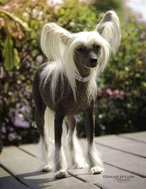 chinese crested hairless   pony dogs
