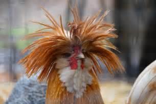 chicken   funny hairdo luvbat