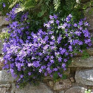 Plantes Et Jardin : campanule des murs plantes et jardins ~ Melissatoandfro.com Idées de Décoration