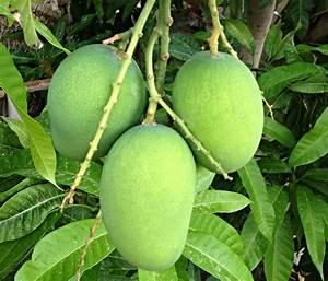 المانجو الأخضر Green Mango   abdullah alkaabi   Flickr