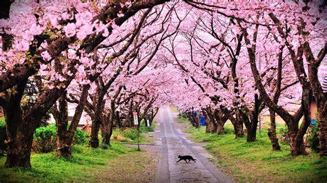 Tree Trees Blossom Blossoms Cat Cats Pink Mood Wallpaper