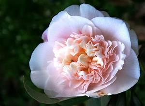 Langage Des Fleurs Pivoine : fleurs pivoine ~ Melissatoandfro.com Idées de Décoration