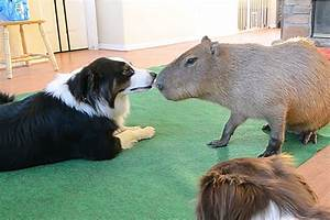 Dog, Capybara Kiss in Your Adorable Video of the Day