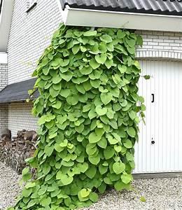 Kletterpflanzen Für Balkon : 17 best ideen zu pfeifenwinde auf pinterest reinigung ~ Lizthompson.info Haus und Dekorationen