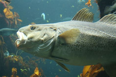 Image - Gadus morhua 2.jpg | British Wildlife Wiki | FANDOM powered by Wikia