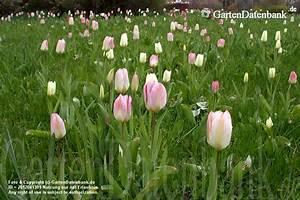 Tulpen Im Garten : tulpen im britzer garten berlin tulipan tulpenbl te ~ A.2002-acura-tl-radio.info Haus und Dekorationen