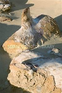 Basilosaurus fossils - Stock Image C010/5726 - Science ...