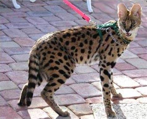 police hunt  dangerous african wild cat   loose