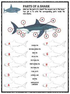 great white shark facts worksheets habitat information