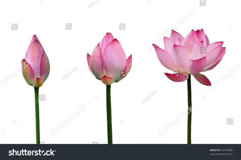 Lotus Bud Growth To Lotus In Full Bloom ภาพสต็อก 43979902