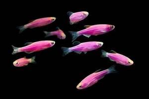 GloFish Gallery