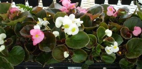 begonias types how to grow different varieties of begonias today s homeowner