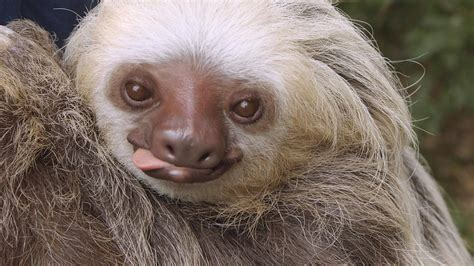 Sloth Images For The Of Sloths