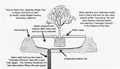 how to plant a japanese maple tree planting your japanese maple tree