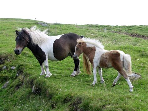 shetland ponies pony british horses horse deviantart needed english mini visit brown