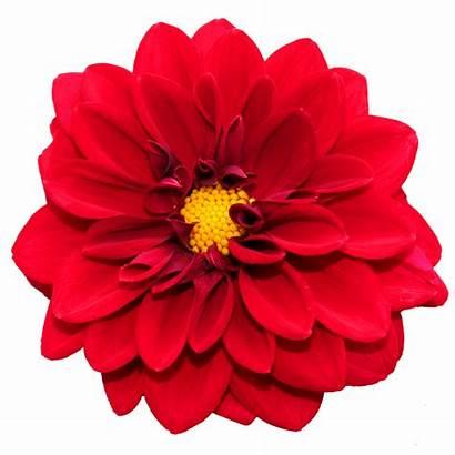Flower Dahlia Transparent Rose Blossom Orange Flowers