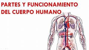 Partes Y Funcionamiento Del Cuerpo Humano 2-2