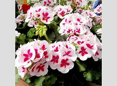 Geranium Plants Americana White Splash All Flower