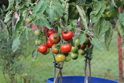 welche erde für tomaten ᐅ welche erde brauchen tomaten 2019