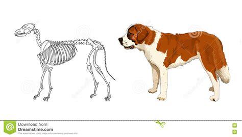 skeleton  predatory mammal st bernard