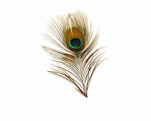 peacock feather vector - DriverLayer Search Engine