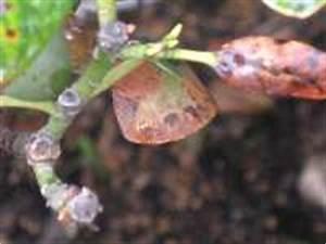 Braune Blätter Am Rhododendron : schadbild rhododendron blatt krankheiten rhododendron ~ Lizthompson.info Haus und Dekorationen