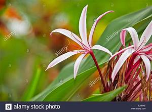 Giant Spider Lily, or Swamp Lily. Scientific name: Crinum ...