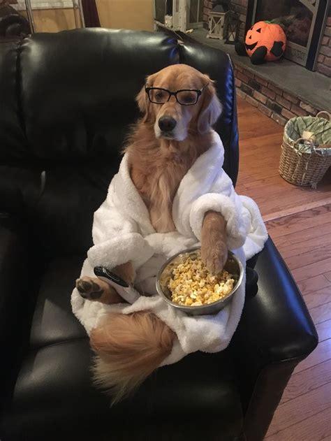 golden retriever halloween costume couch potato cani