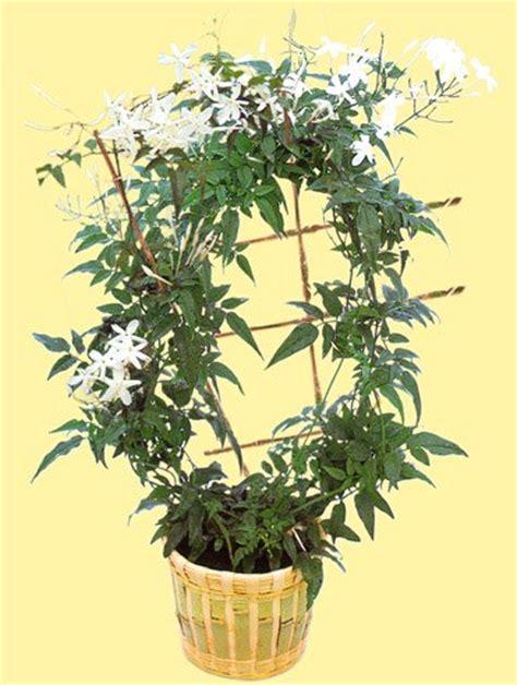 jasminum polyanthum en pot 28 images plantation et