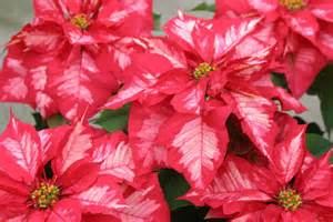 Ice Punch Poinsettia