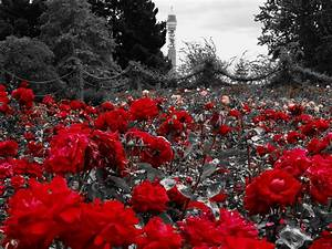 Begleitpflanzen Für Rosen : f r dich solls rote rosen regnen foto bild archiv projekte naturchannel monatswettbewerb ~ Orissabook.com Haus und Dekorationen