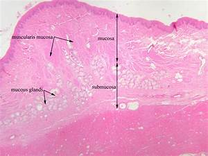 Image Gallery esophagus labeled