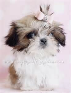 Teacup Imperial Shih Tzu Puppy