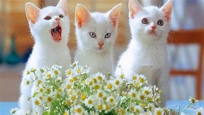 Cats Kittens Three Funny Beautifull Carspot Classified